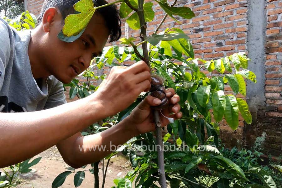 cara mencangkok pohon tin