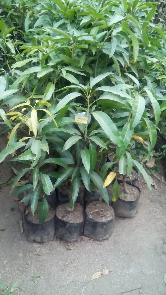 Pohon buah mangga irwin tergolong jenis yang genjah atau gampang berbuah di dataran rendah sampe dataran tinggi dengan perawatan tergolong tidaklah ...