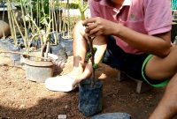 Cara memindahkan cangkokan tin ke polibag