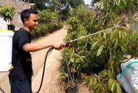 cara menyemprot tanaman durian