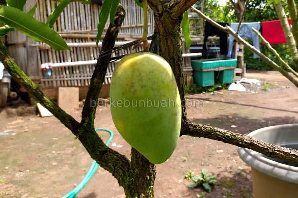 tips merawat pohon mangga chokanan berbuah di pot