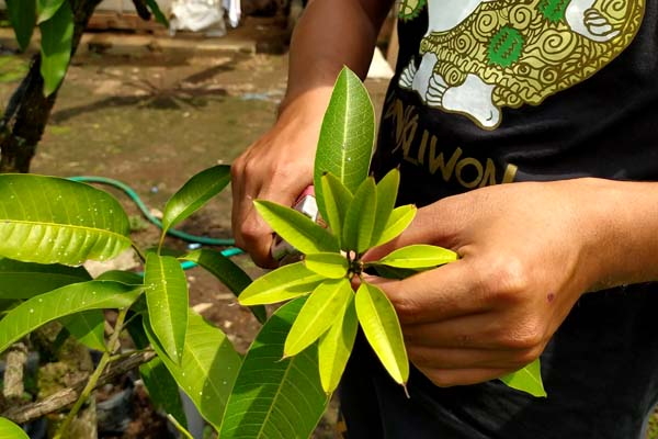 cara sambung sisip pohon mangga
