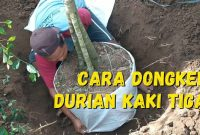 cara dongkel pohon durian kaki tiga